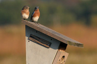 Female & Male Eastern Bluebirds