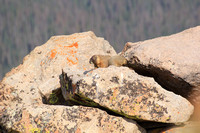 Lounging Marmots