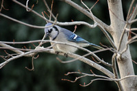 Blue Jay in Maple Tree