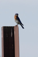 Post-Perching Male Eastern Bluebird