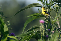 Male Goldfinch Watching