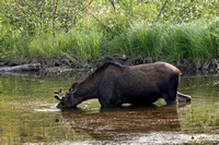 Hungry Moose in Pond