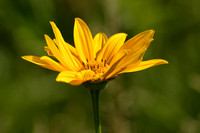 Side View Of False Sunflower