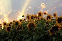 Evening Light and Sunflowers