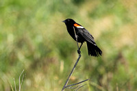 Perched Male Red-Winged Blackbird