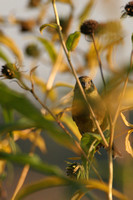 Female Goldfinch Watching
