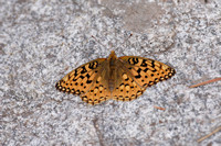 Coronis Fritillary Butterfly